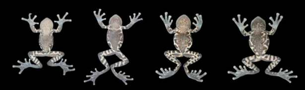 taxonomy frog images